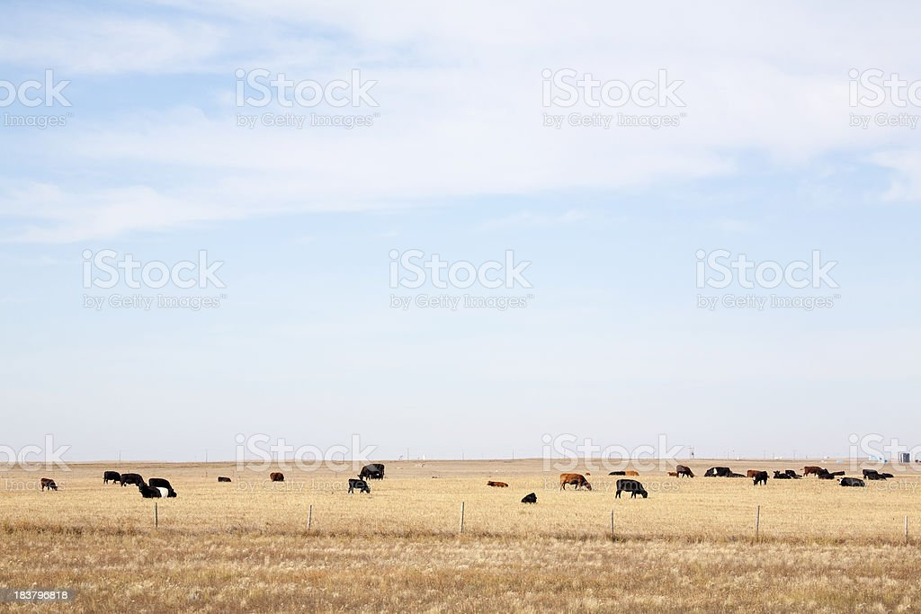 Beef Ranch in Alberta royalty-free stock photo