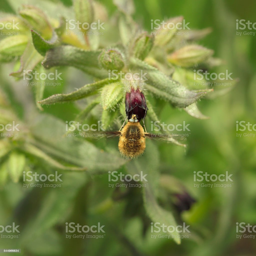 Bee-fly on flower stock photo