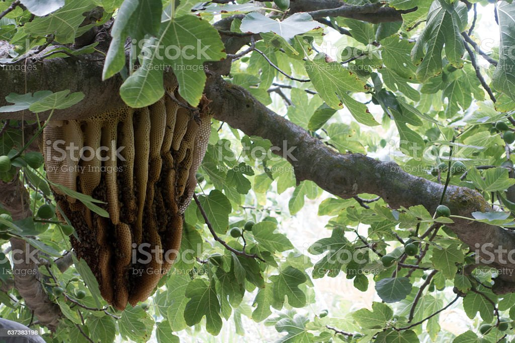 Beehive In Fig Tree stock photo