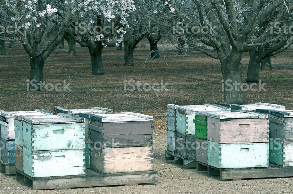 Beehives and almond tree orchard in northern California stock photo