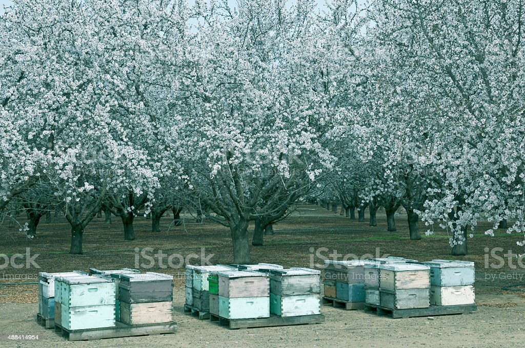 Beehives and blossoming almond trees in central California stock photo