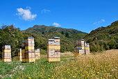 Beehives in Native Kanuka Tea Tree Bush, New Zealand