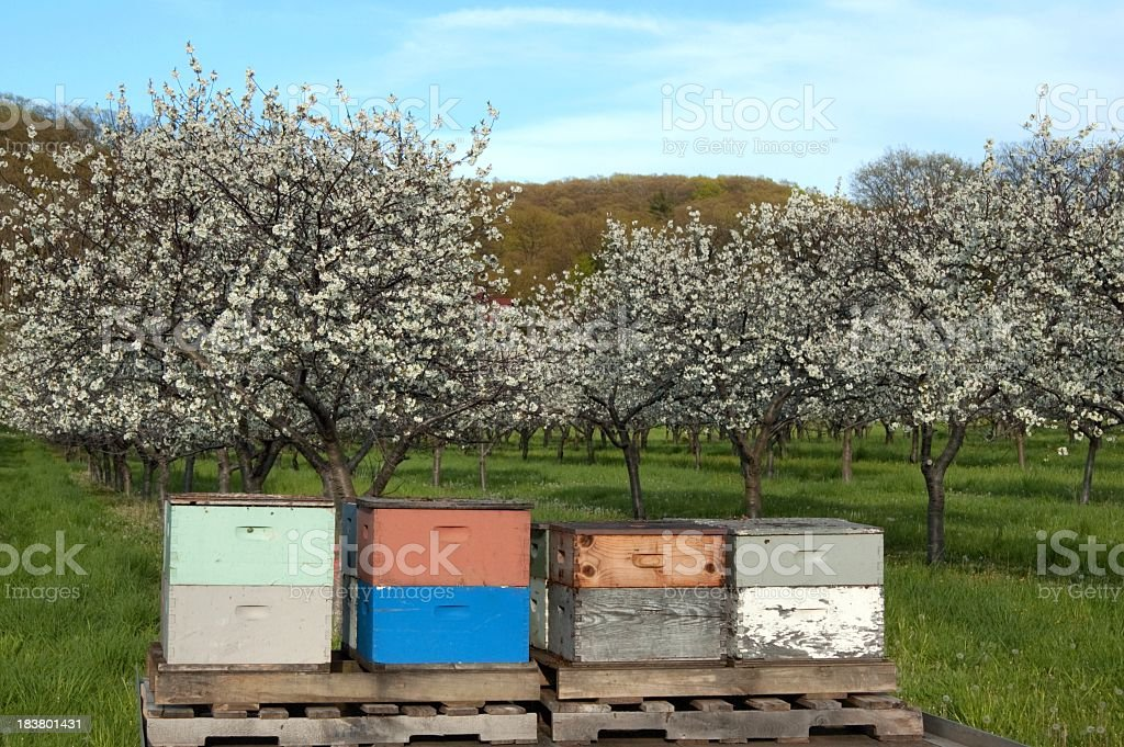 Beehives in Spring with Blooming Cherry Trees stock photo