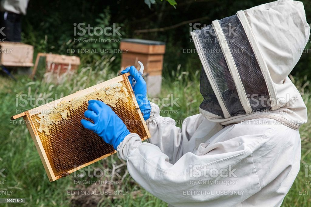 beekeeper assessing one of the bee frames from the beehive stock photo