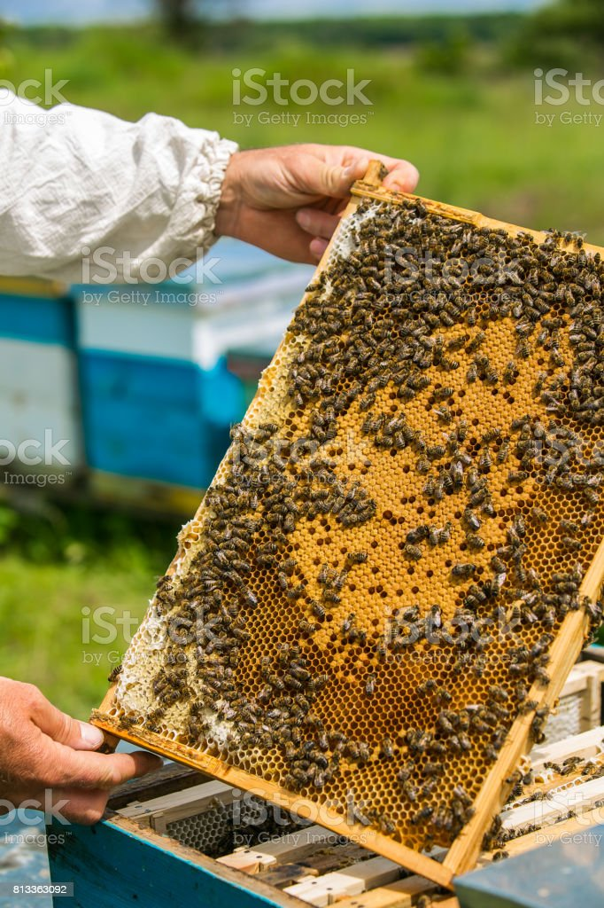 Beekeeper at work. Bees on honeycombs.Frames of a bee hive stock photo