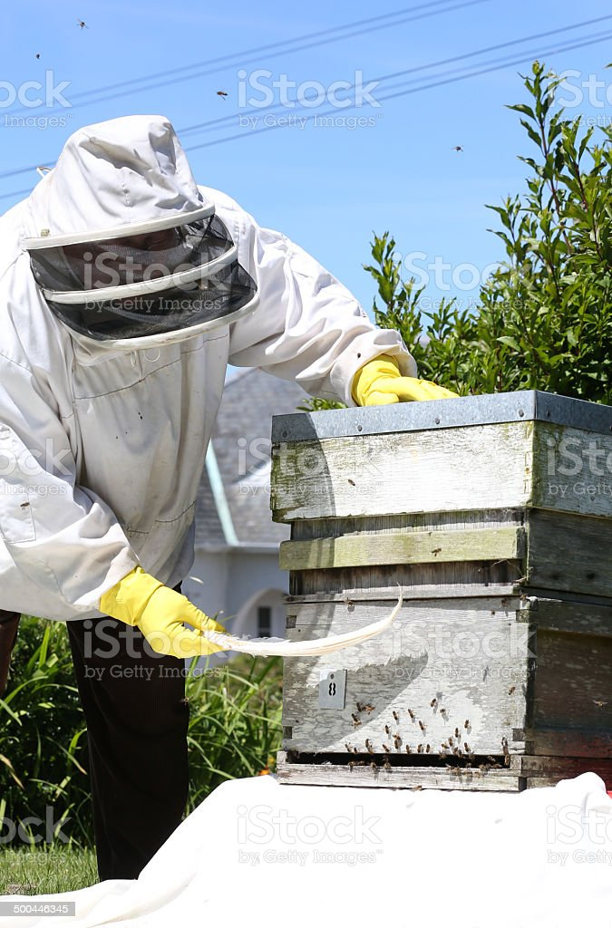 Beekeeper collects wild bees with a goose feather into hive royalty-free stock photo