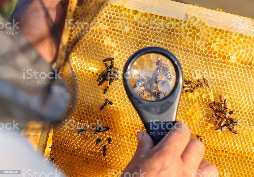 Beekeeper consider bees in honeycombs with a magnifying glass stock photo