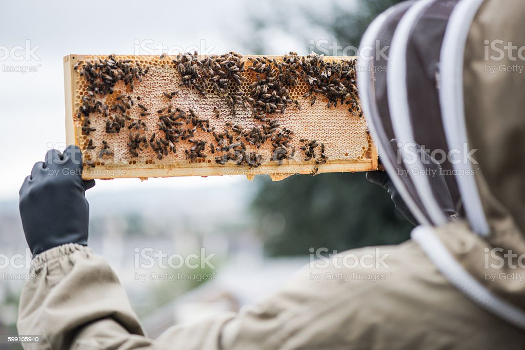 Beekeeper hold frame full of honey stock photo