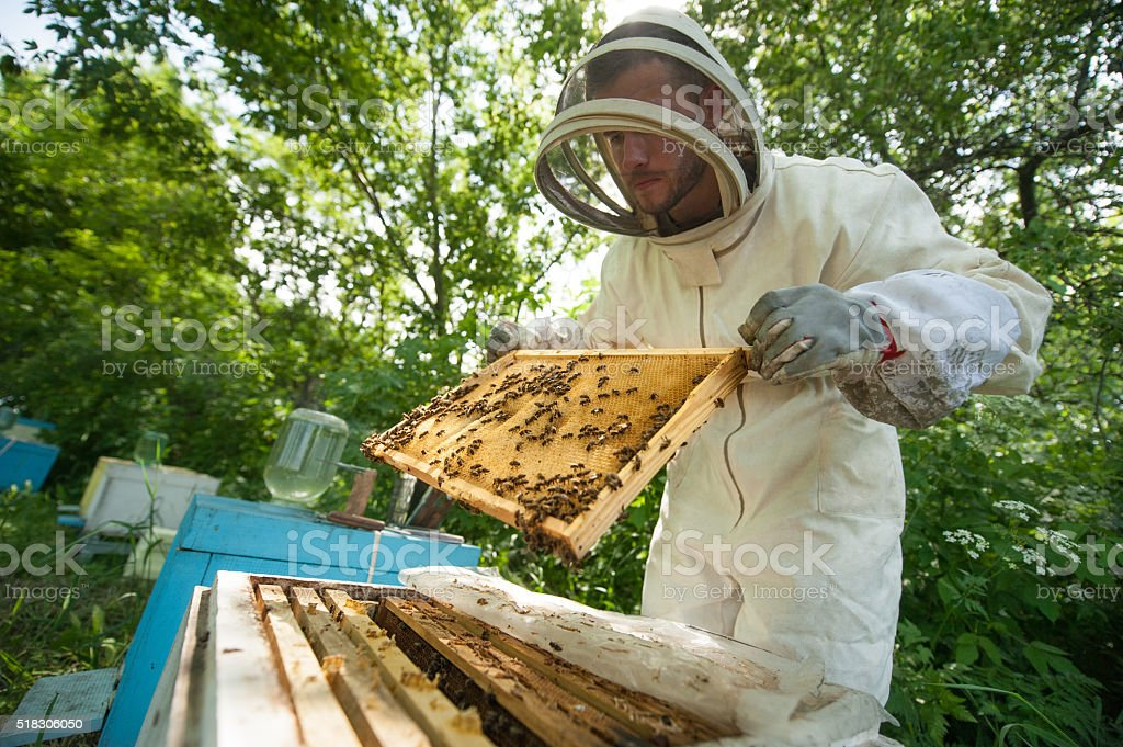 beekeeper holding a honeycomb full of bees stock photo