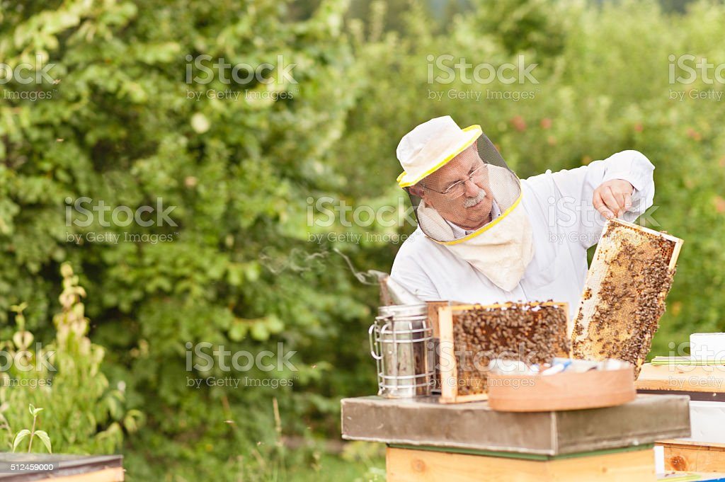 Beekeeper holding beehive frame stock photo