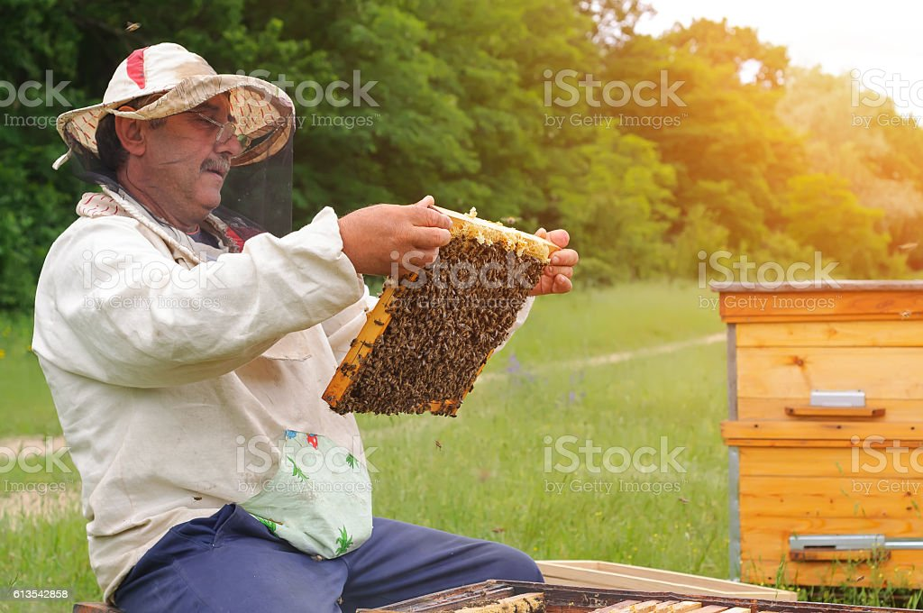 Beekeeper holding frame of honeycomb with bees stock photo