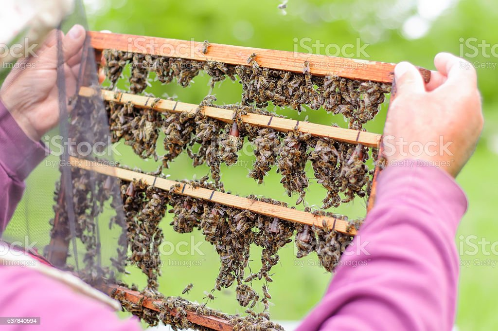 beekeeper holding honeycomb with bees stock photo