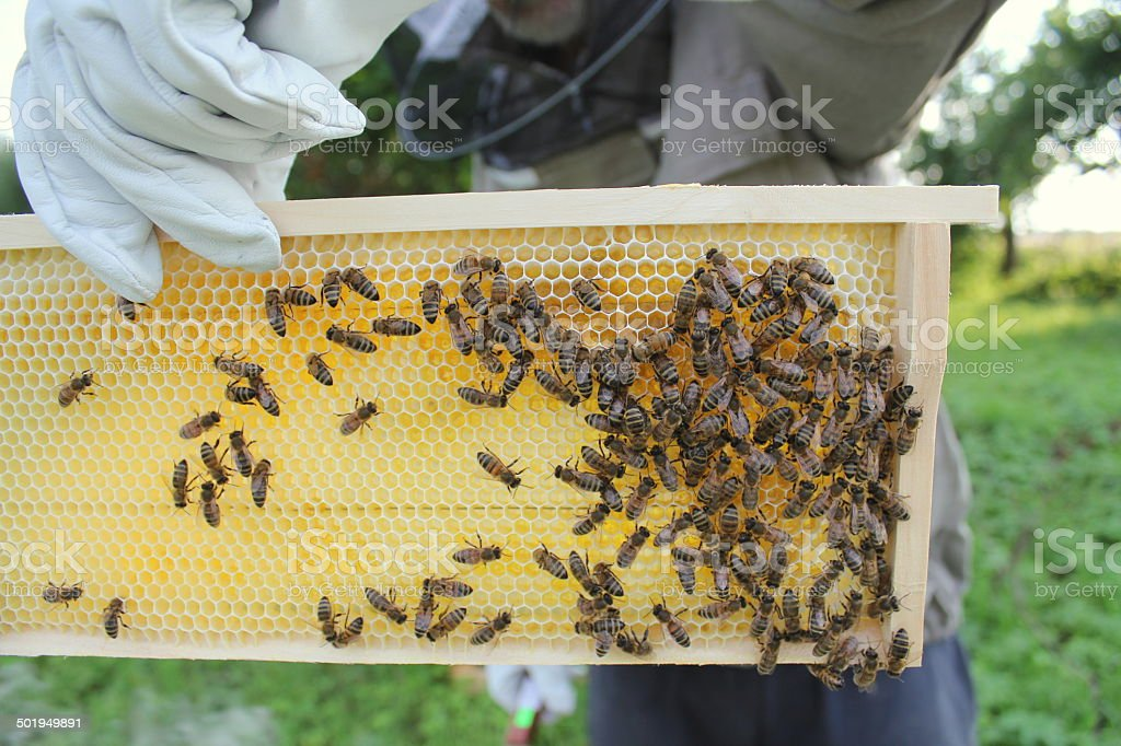 Beekeeper holds frame with honeycomb royalty-free stock photo