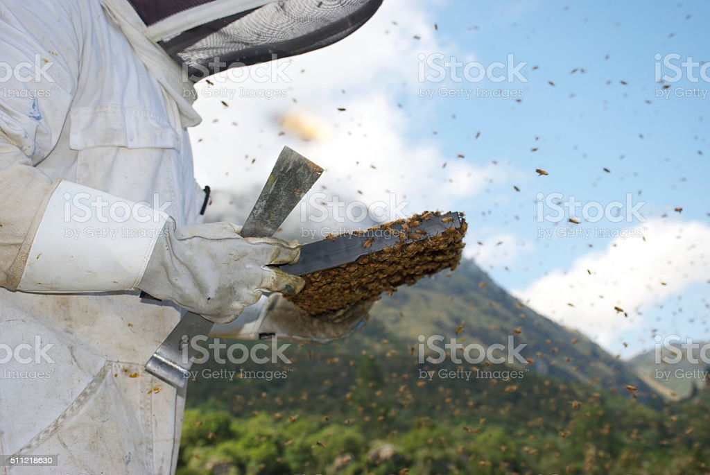 Beekeeper inspecting a Frame from a Beehive stock photo