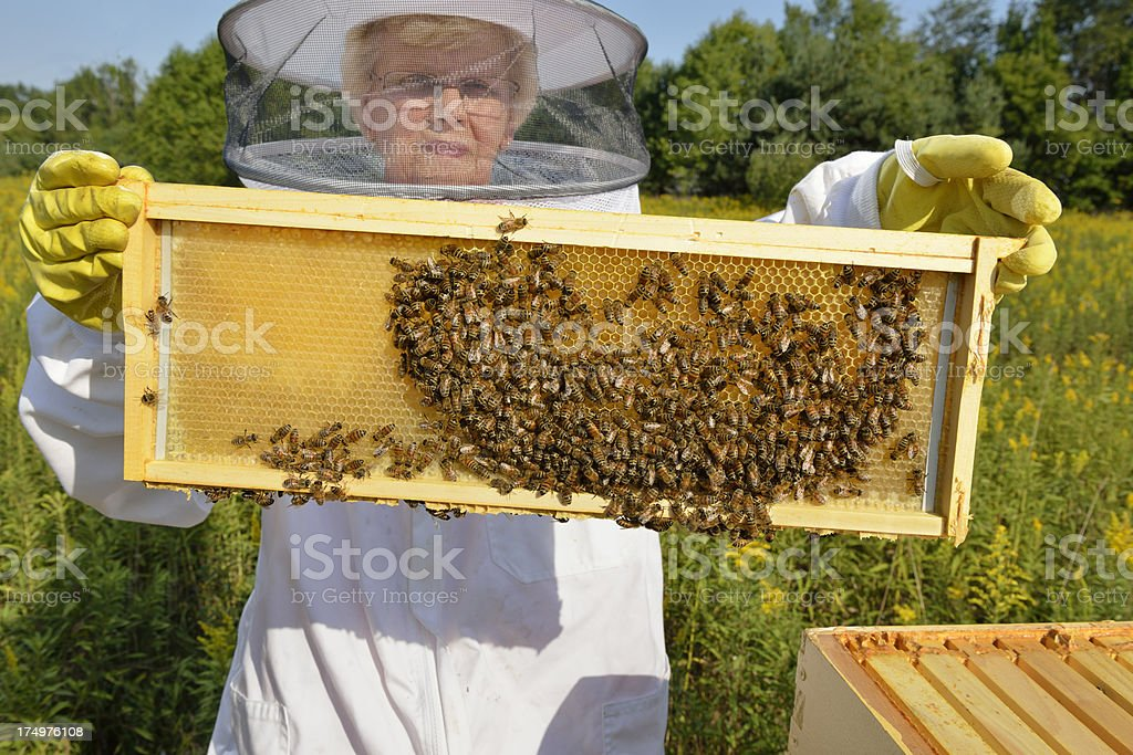 Beekeeper Inspecting Her Hives stock photo