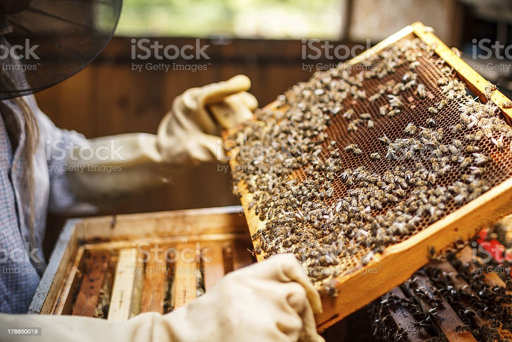 Beekeeper lifting a tray out of a beehive stock photo