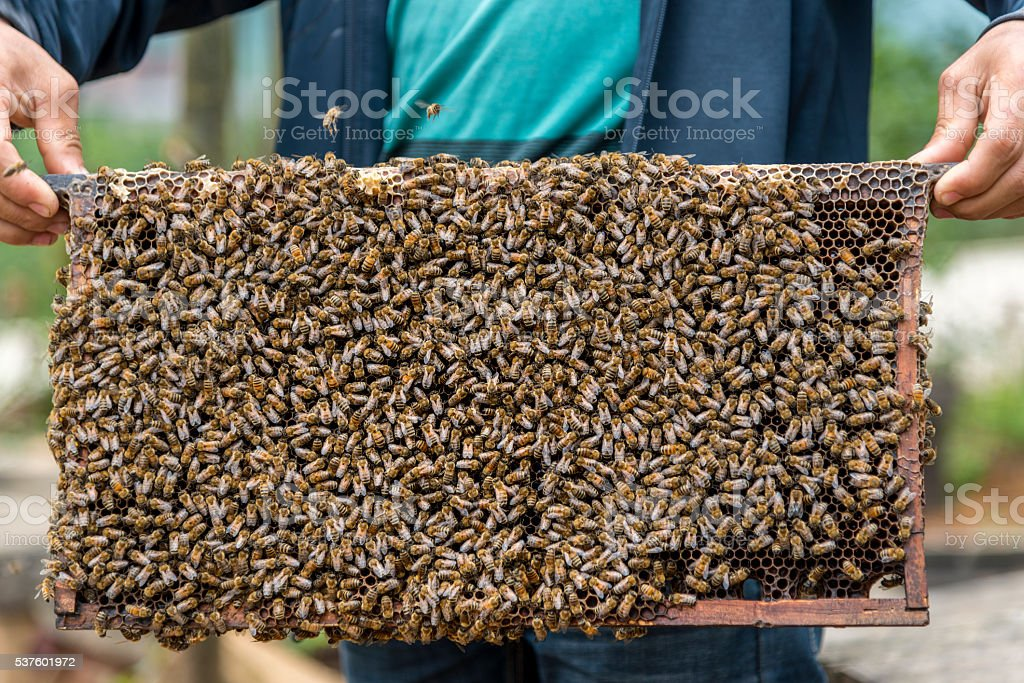 Beekeeper lifting a tray out of a beehive. stock photo