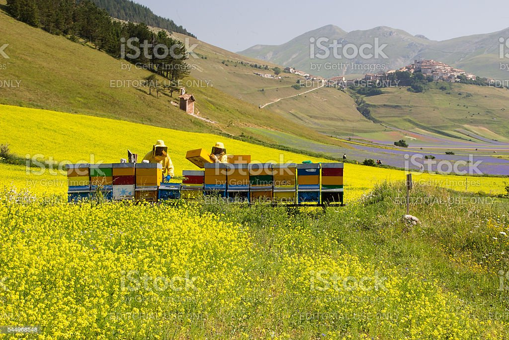 Beekeeper on apiary checking the hives on blossoming rapeseed field stock photo