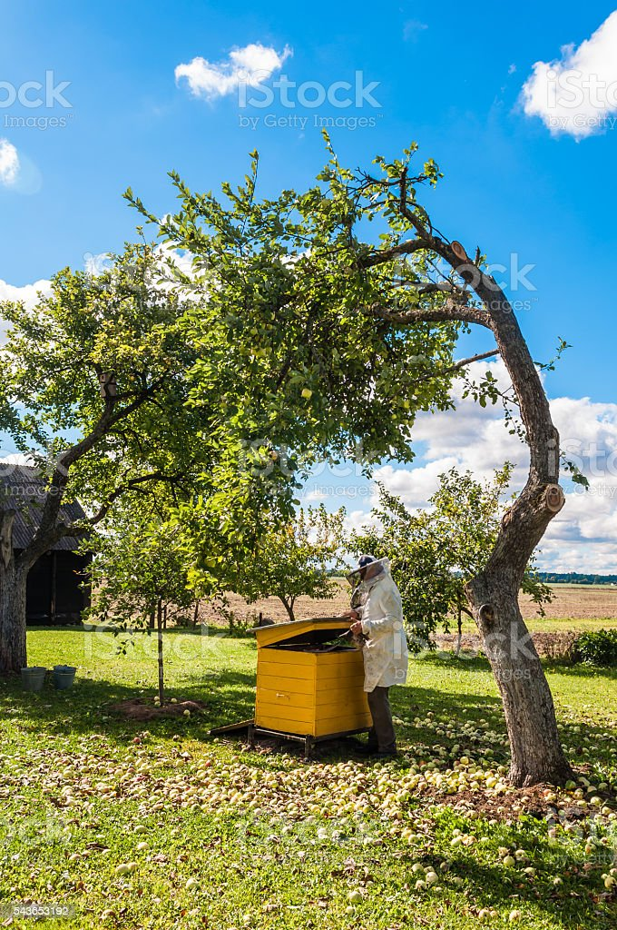 Beekeeper prepares remove honey from the beehive stock photo