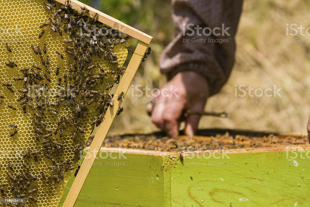 Beekeeper working on honeycomb with bees royalty-free stock photo