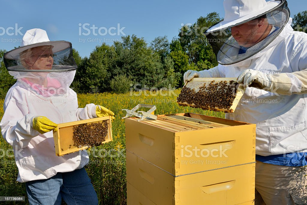 Beekeepers Inspecting Hive stock photo