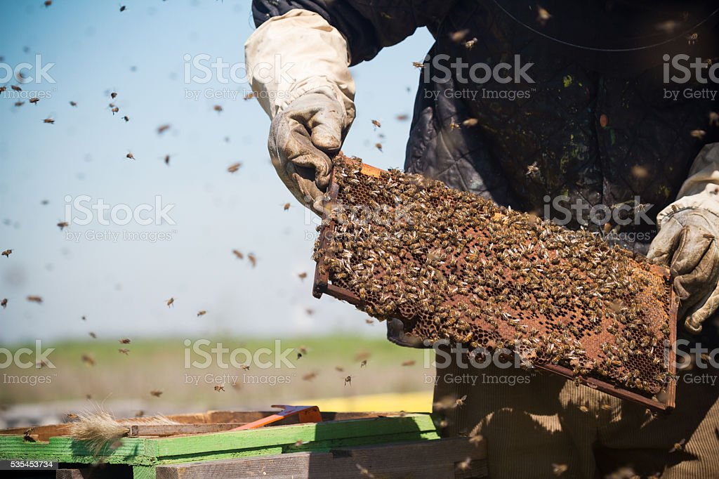 beekeepr keeping a honeycomb in his hands stock photo