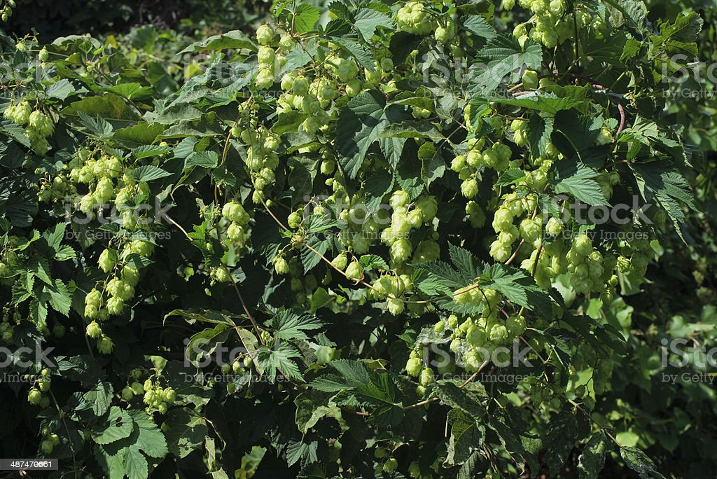 Beer seeds royalty-free stock photo