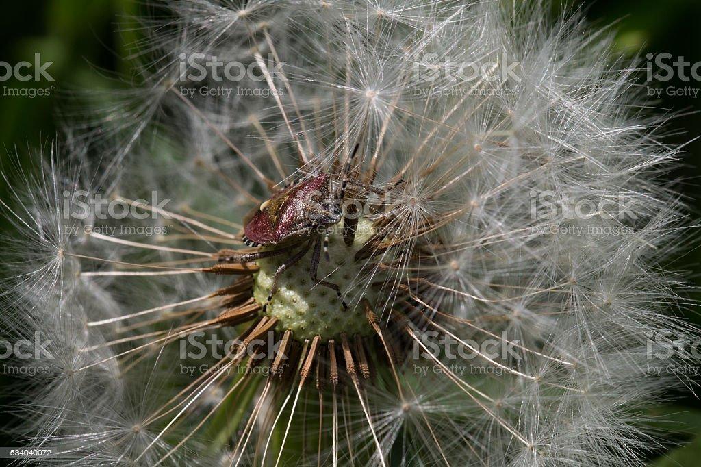 Beerenwanze auf einer Pusteblume, Makro stock photo