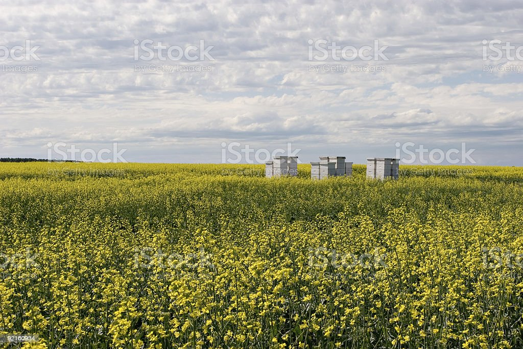 Bees and Canola stock photo
