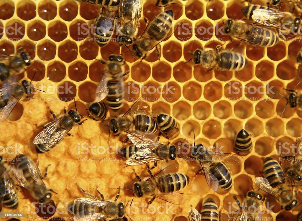 bees and honey stock photo