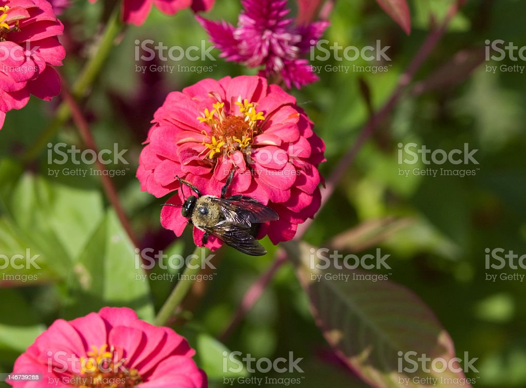 Bees Are Cool royalty-free stock photo