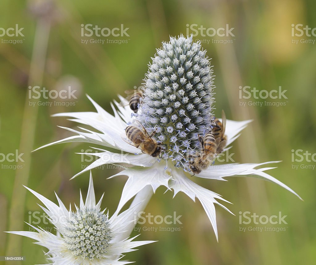 bees at a sea holly stock photo