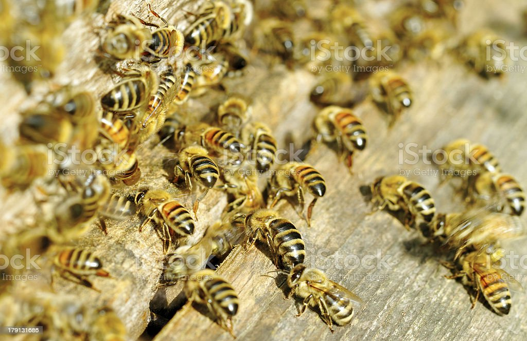 Bees at the beehive entrance. royalty-free stock photo