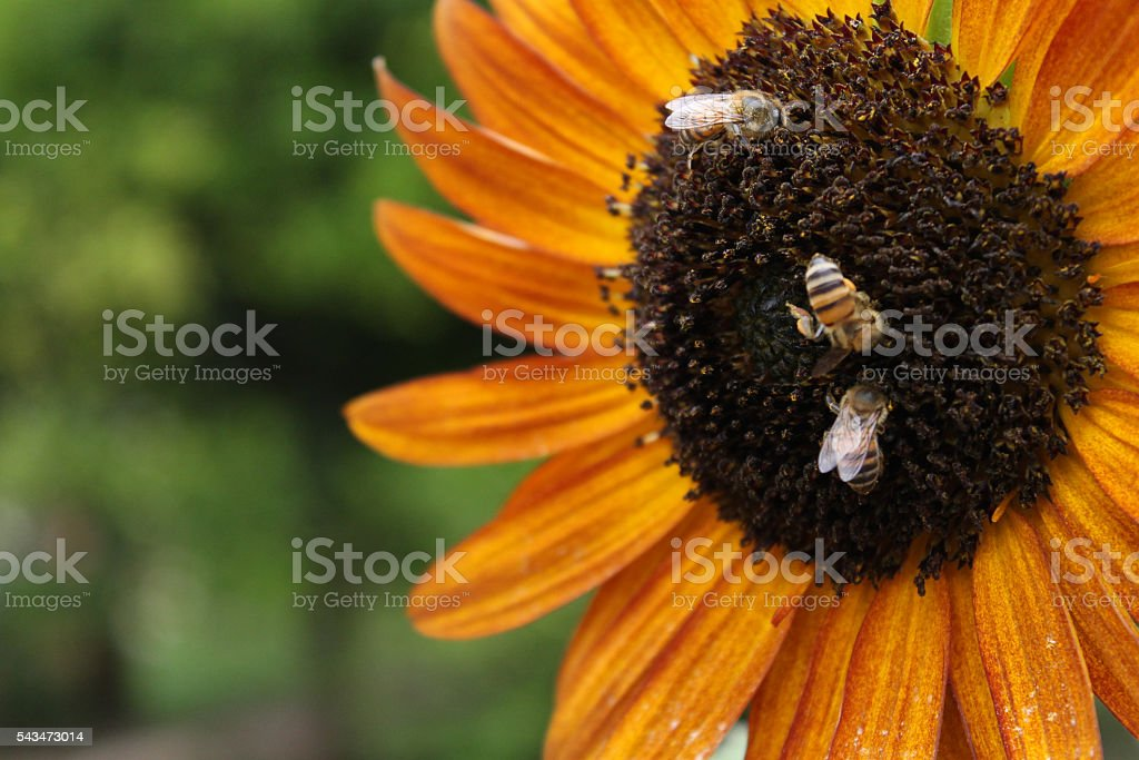 Bees at work royalty-free stock photo