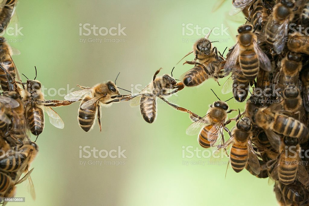 Bees bridge swarm stock photo