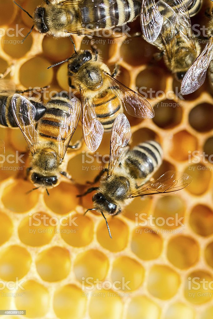 Bees Closeup Portrait stock photo