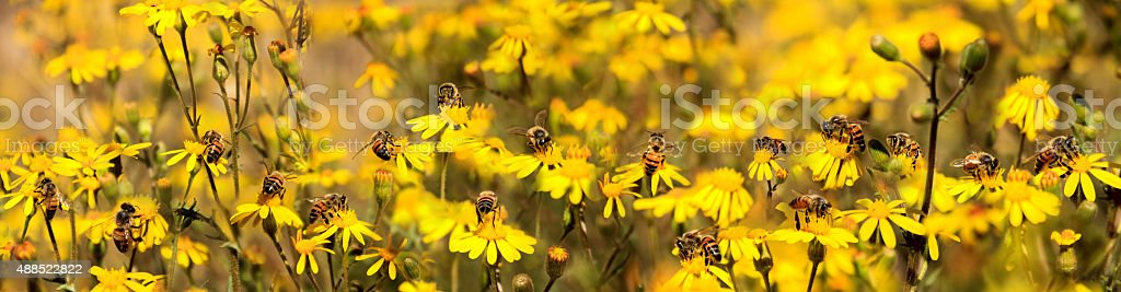 Bees collecting nectar panorama stock photo