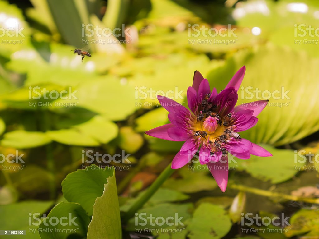 bees collecting pollen in deep  purple water lily stock photo