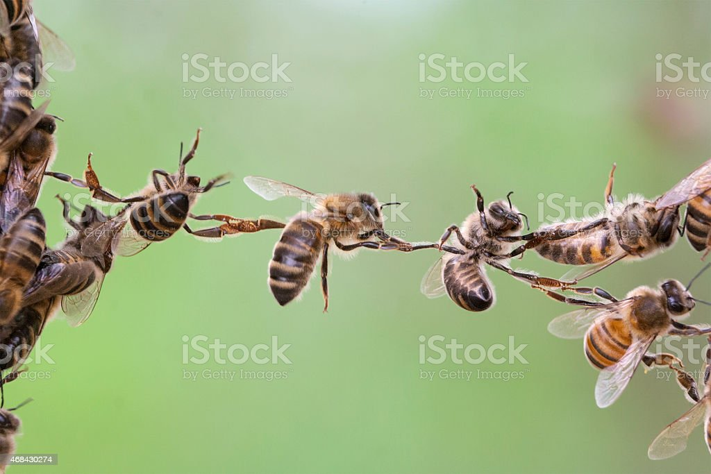 Bees constructing a chain stock photo