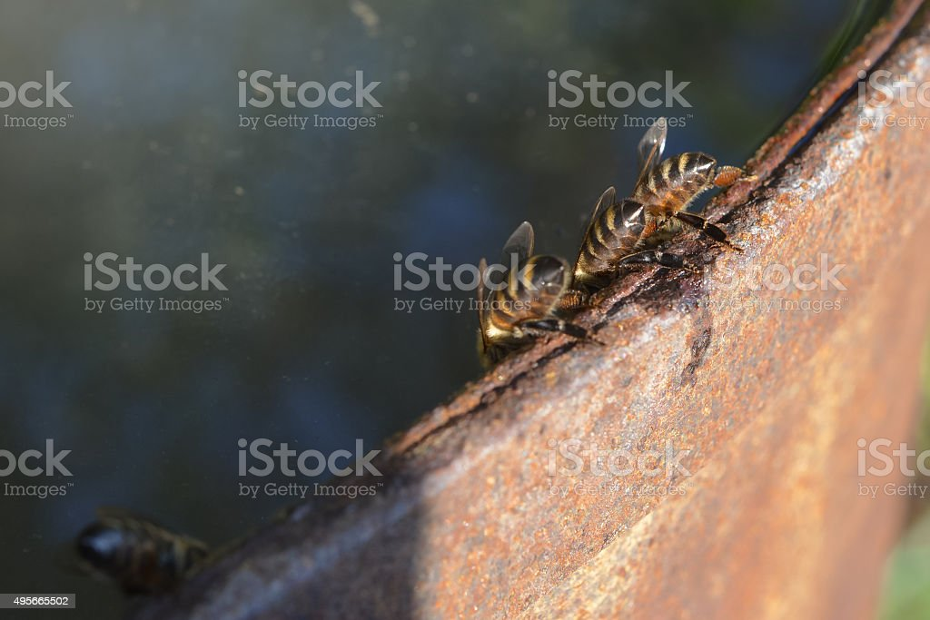 Bees drink water from the barrel stock photo