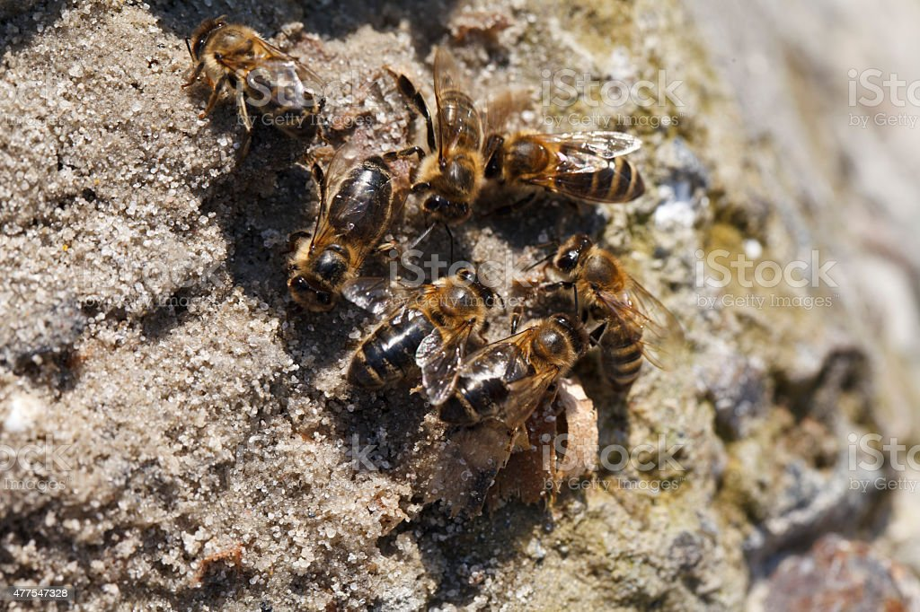 Bees drink water stock photo