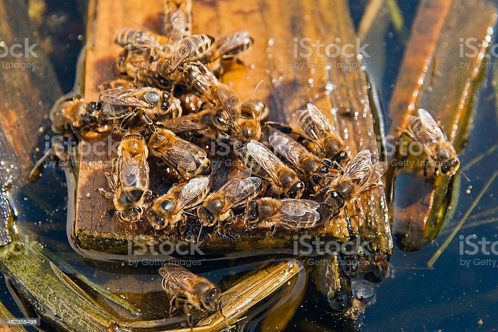 Bees agua potable en el verano foto de stock libre de derechos