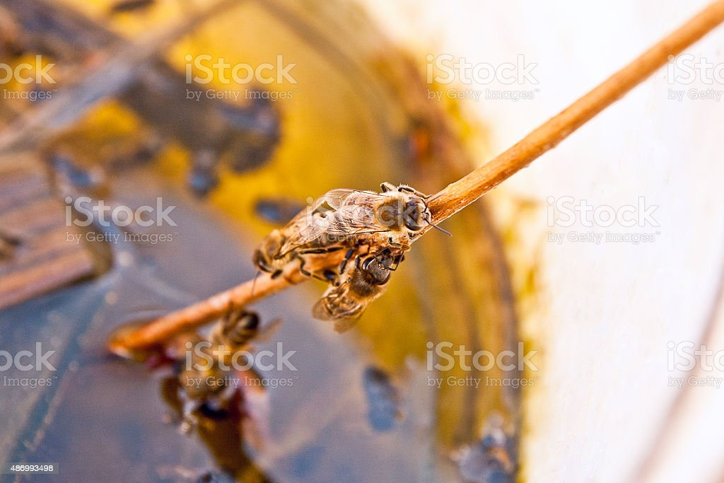 Bees agua potable en el verano. foto de stock libre de derechos