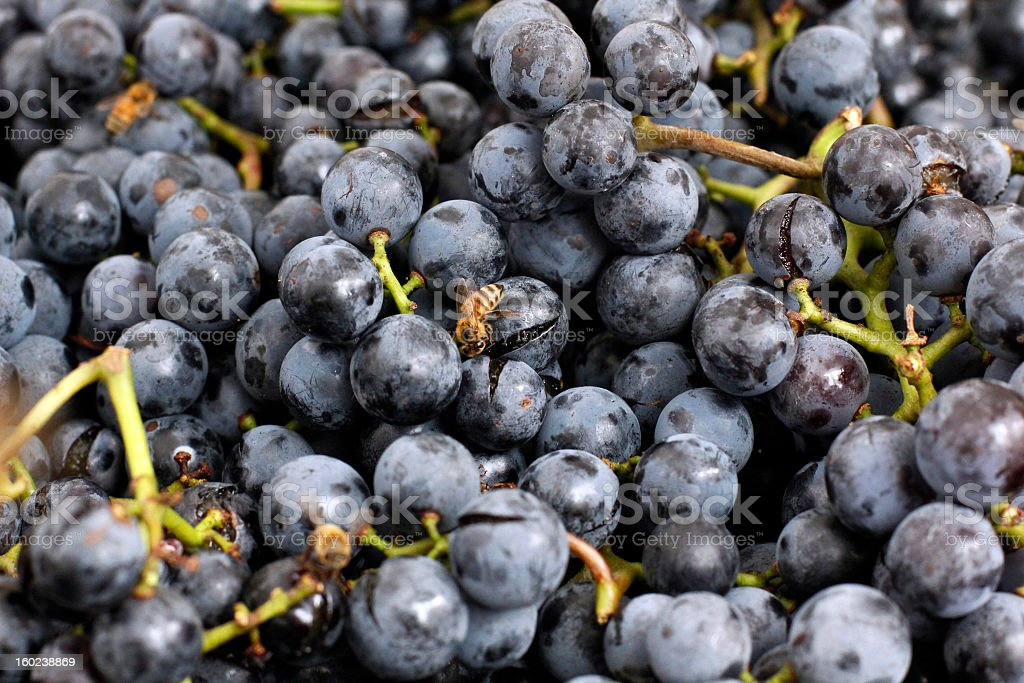 Bees Feeding on Ripe Concord Grapes stock photo