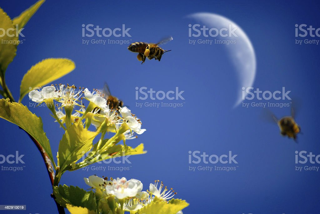 Bees Flying Around Flowers with Moon stock photo