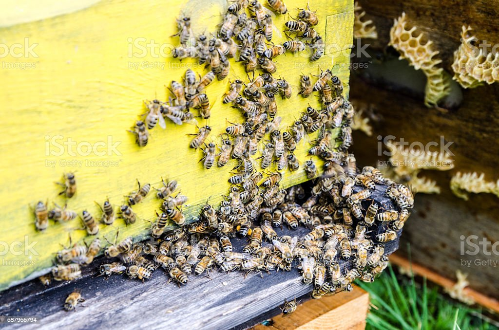 Bees flying in and out from beehive stock photo