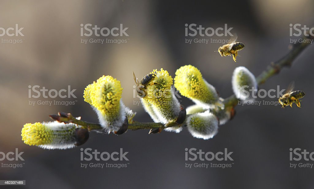 Bees flying to willow, osier and sallow plants stock photo