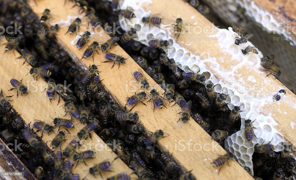 Bees in a beehouse royalty-free stock photo