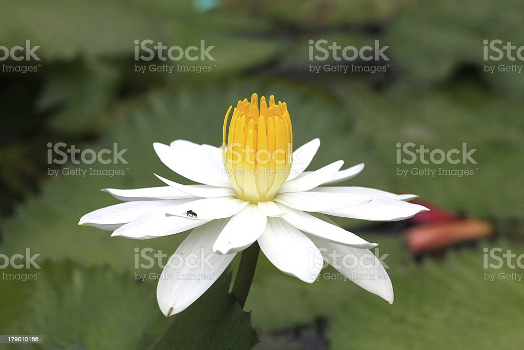 Bees in a white lotus,Thailand royalty-free stock photo