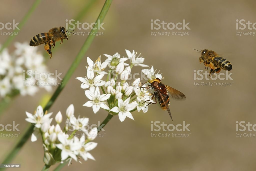 Bees in flight, hoverfly and flowers of garlic (Allium) royalty-free stock photo